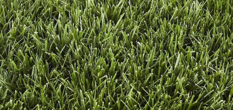 Fescue lawn